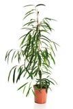 Photo of dracaena in a pot Royalty Free Stock Photo
