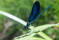 Photo of dragonfly close up Royalty Free Stock Images