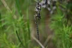 Photo of a dragonfly close-up Royalty Free Stock Images