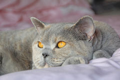 Day-dreaming british shorthair pedigree cat Stock Image