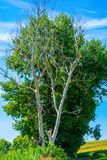 Photo of dry and living tree at summer. Day Stock Photography