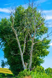 Photo of dry and living tree at summer Stock Photos