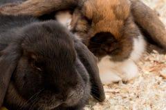 Photo du beau ` s de lapin de noir et de couleur Image libre de droits