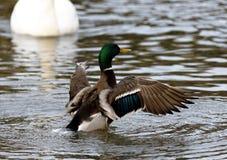 Photo du canard avec les ailes Photographie stock libre de droits