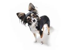 Photo du chien émotif curieux d'isolement sur le fond blanc Photo libre de droits
