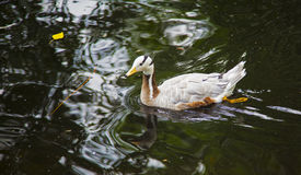 Photo duck Stock Image