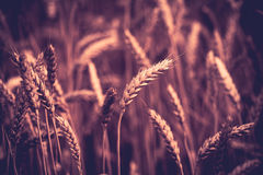 Photo of  ears on the beautiful wheat field toned in retro vintage style Royalty Free Stock Image