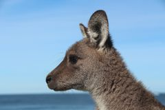 Kangaroo looking out over the ocean. A photo of an eastern grey looking out over the ocean in a national park.  To my surprise something caught this little Royalty Free Stock Images