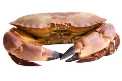 Photo of edible crabs Stock Images