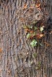 Vieille texture d'écorce d'arbre Image libre de droits