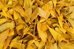 Photo en gros plan de feuilles sèches Album de Viscum, plante médicinale, t Images libres de droits