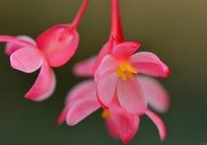 Photo en gros plan des fleurs rouges de bégonia ; couleurs douces mais lumineuses ; centre jaune des fleurs photo libre de droits