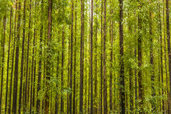Eucalyptus forest Stock Photography