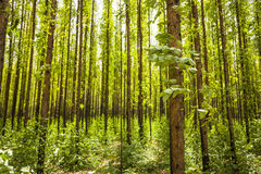 Eucalyptus forest Royalty Free Stock Photos