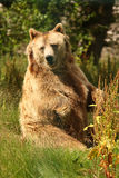 Photo of a European Brown Bear Royalty Free Stock Photos