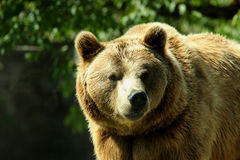 Photo of a European Brown Bear royalty free stock photos