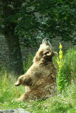 Photo of a European Brown Bear royalty free stock photography