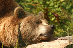 Photo of a European Brown Bear Royalty Free Stock Images
