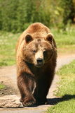 Photo of a European Brown Bear royalty free stock image