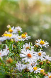 Photo of European michaelmas daisy Aster amellus with blurred bokeh background. Alpine aster, family Asteraceae Stock Image