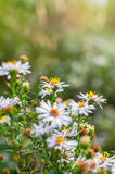 Photo of European michaelmas daisy Aster amellus with blurred bokeh background. Alpine aster, family Asteraceae Royalty Free Stock Photography