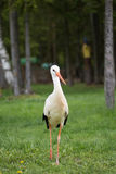 Photo of European white stork walking in field. Royalty Free Stock Photography