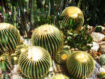 Photo of exotic cactus Royalty Free Stock Photo