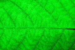 Photo extrême de plan rapproché de structure extérieure rocailleuse détaillée fraîche vert clair intense de feuille macro avec la photo libre de droits