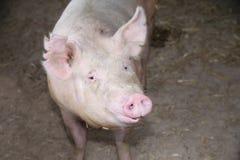 Photo extrême de plan rapproché de truie domestique de porc Image stock