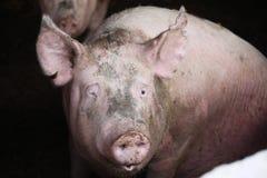Photo extrême de plan rapproché de truie domestique de porc Image libre de droits