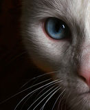 Photo of Face of White Cat with Blue Eyes. Against brocade background Stock Photo