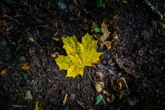 Maple Leaf. Photo of a fallen yellow maple leaf in the forest Royalty Free Stock Photo