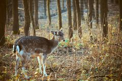 Fallow deer in the forest. Photo of a Fallow deer in the forest royalty free stock image