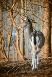 Fallow deer in the forest. Photo of a Fallow deer in the forest royalty free stock images