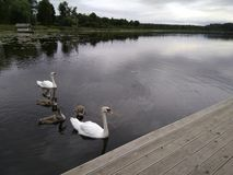 Family of white swans swim in the lake under the cloudy sky royalty free stock image