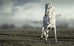 Photo fantastique de cheval blanc pur fort Photographie stock libre de droits