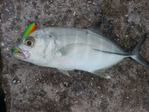 BLUE TREVALLY CAUGHT IN DIEGO GARCIA Royalty Free Stock Photo