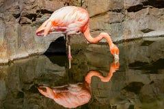 A beautiful Cuban Flamingo feeding royalty free stock images