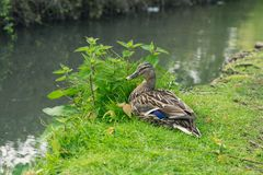 Photo A Female Brown Duck On The River Bank In Arundel, English Country Side In West Sussex Royalty Free Stock Photo