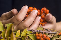 Female hands and rowan Stock Image