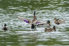 A female Mallard duck getting in a flap. Photo of a female Mallard duck flapping her wings with other ducks looking on Stock Photos