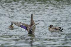 A female Mallard duck flapping her wings. Photo of a female mallard duck flapping her wings with others looking on Stock Image
