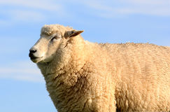 Photo of a female sheep in a pasture. Royalty Free Stock Images