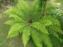 Photo Fern in full bloom Stock Photography