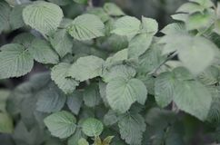 Photo of a few green leaves from a raspberry bush. Growing bush of raspberry. Macro photo with blurred backgroun. D Royalty Free Stock Images