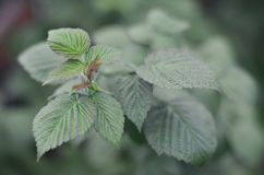 Photo of a few green leaves from a raspberry bush. Growing bush of raspberry. Macro photo with blurred backgroun. D Stock Photos