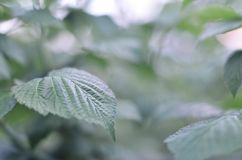 Photo of a few green leaves from a raspberry bush. Growing bush of raspberry. Macro photo with blurred backgroun. D Royalty Free Stock Photography