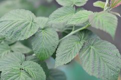 Photo of a few green leaves from a raspberry bush. Growing bush of raspberry. Macro photo with blurred backgroun. D royalty free stock photo