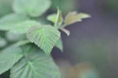 Photo of a few green leaves from a raspberry bush. Growing bush of raspberry. Macro photo with blurred backgroun. D Stock Photo