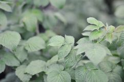 Photo of a few green leaves from a raspberry bush. Growing bush of raspberry. Macro photo with blurred backgroun. D stock photography